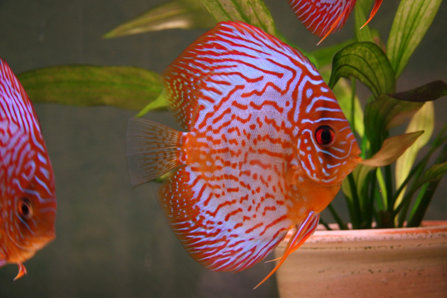 Alimentacion del pez disco