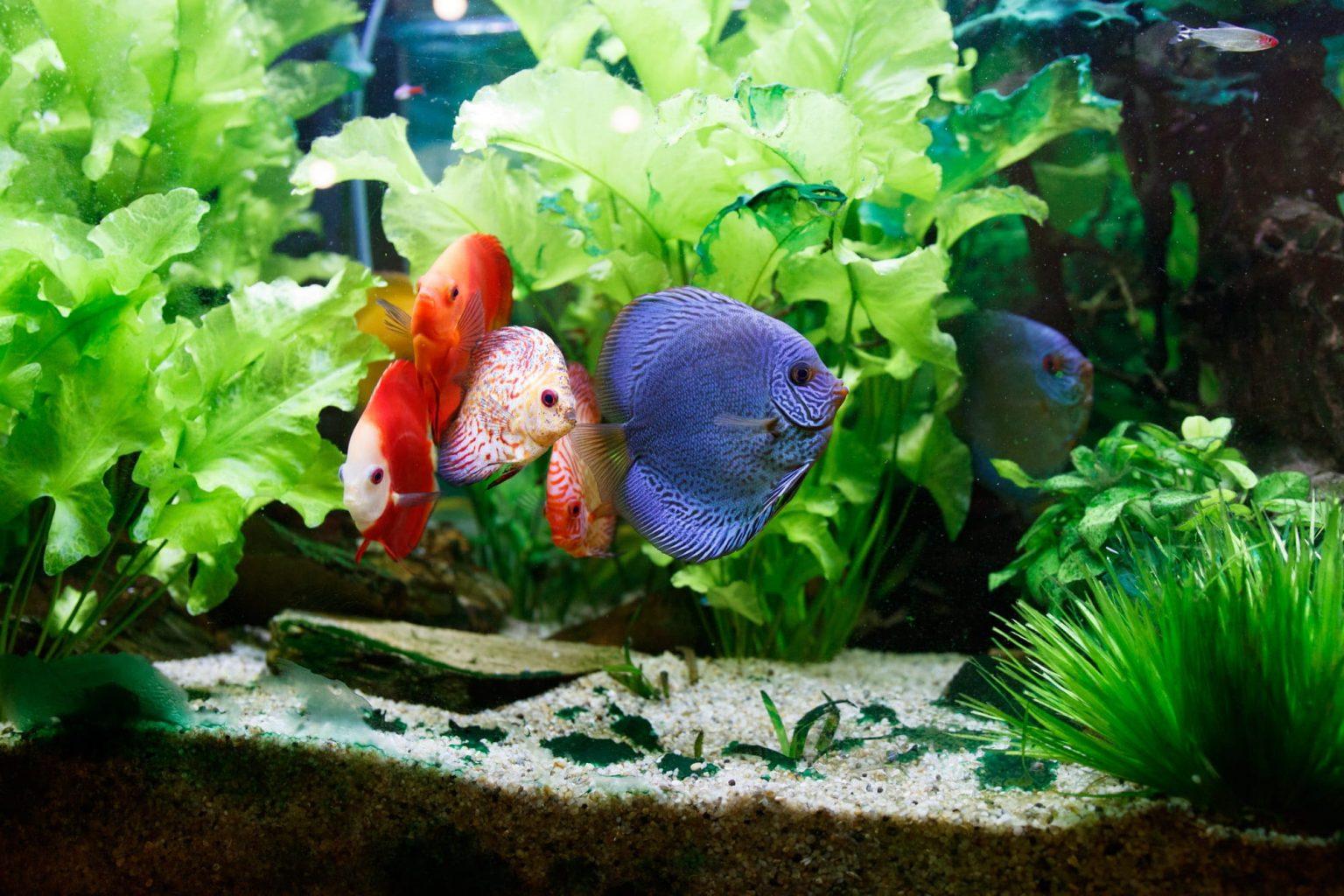 Reproducción pez disco