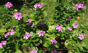 La vinca rosa es una planta preciosa