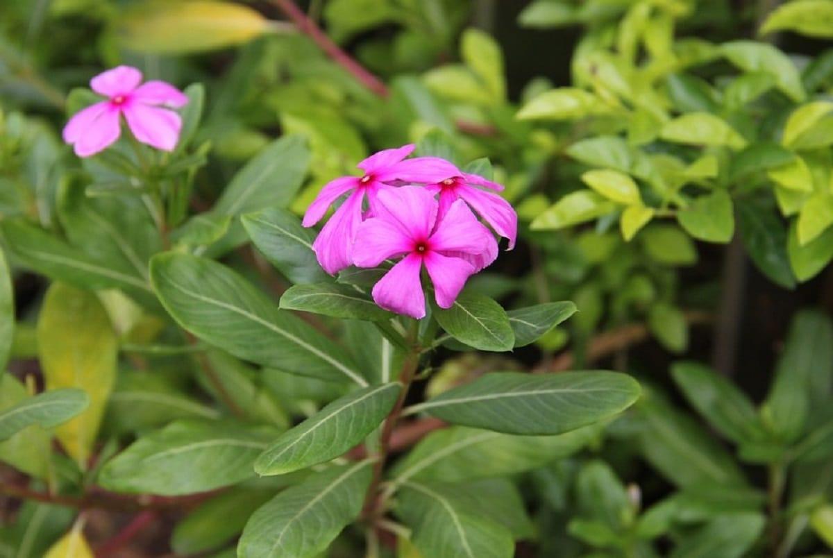 La vinca rosa produce flores de color rosado