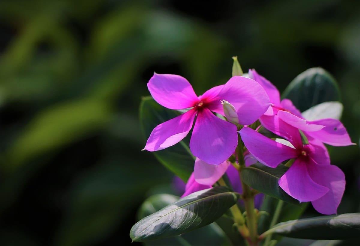 Las flores del Cataranthus roseus son rosadas