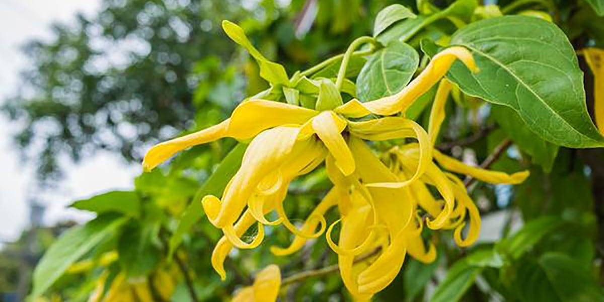 Flor ylang ylang