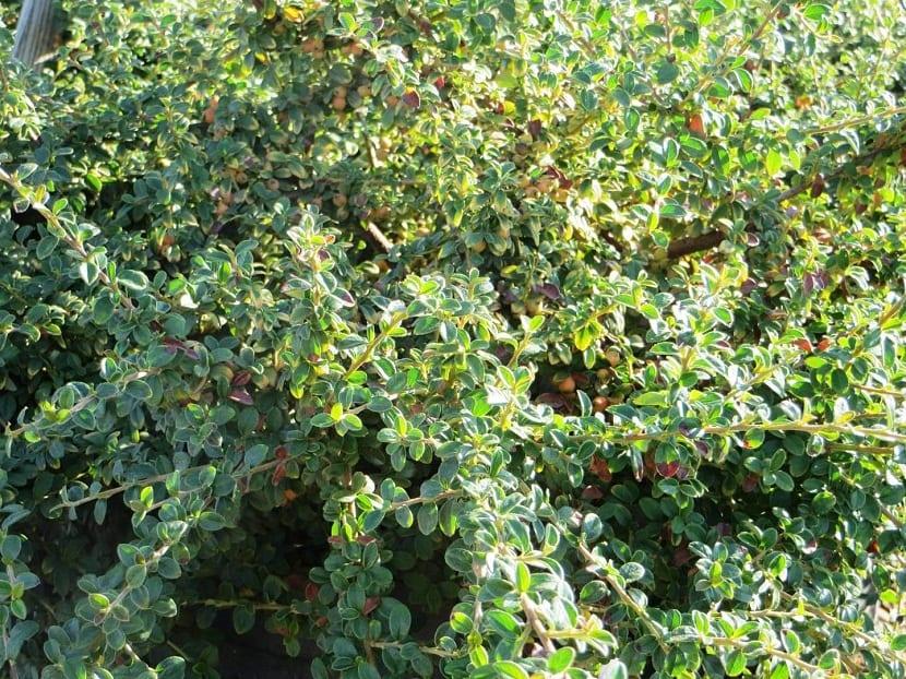El cotoneaster dammeri es un arbusto perenne