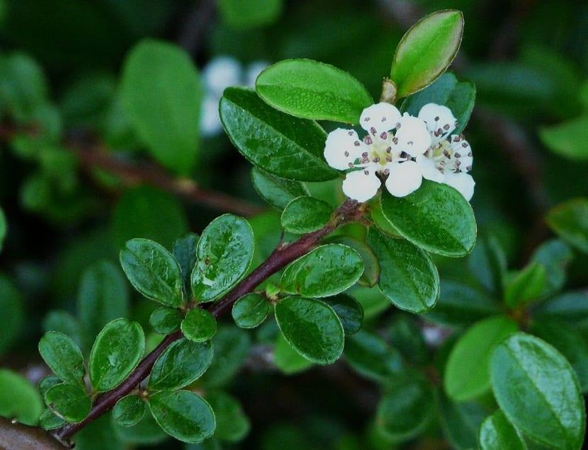 Las flores del Cotoneaster dammeri son blancas