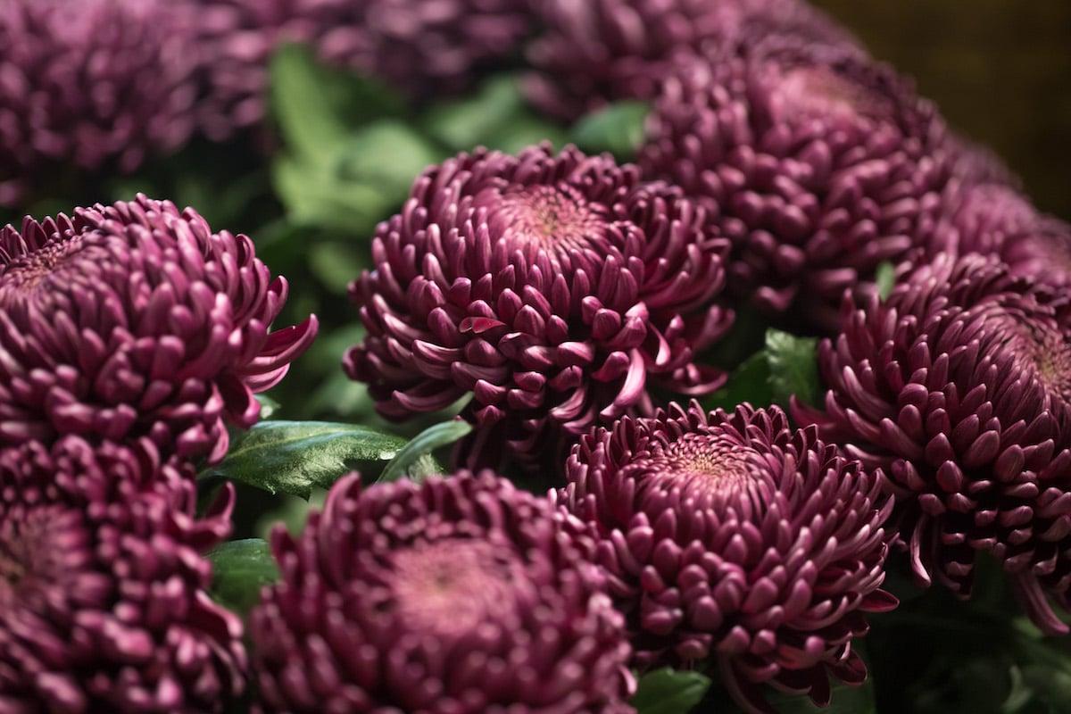 El crisantemo es una planta para infusiones.