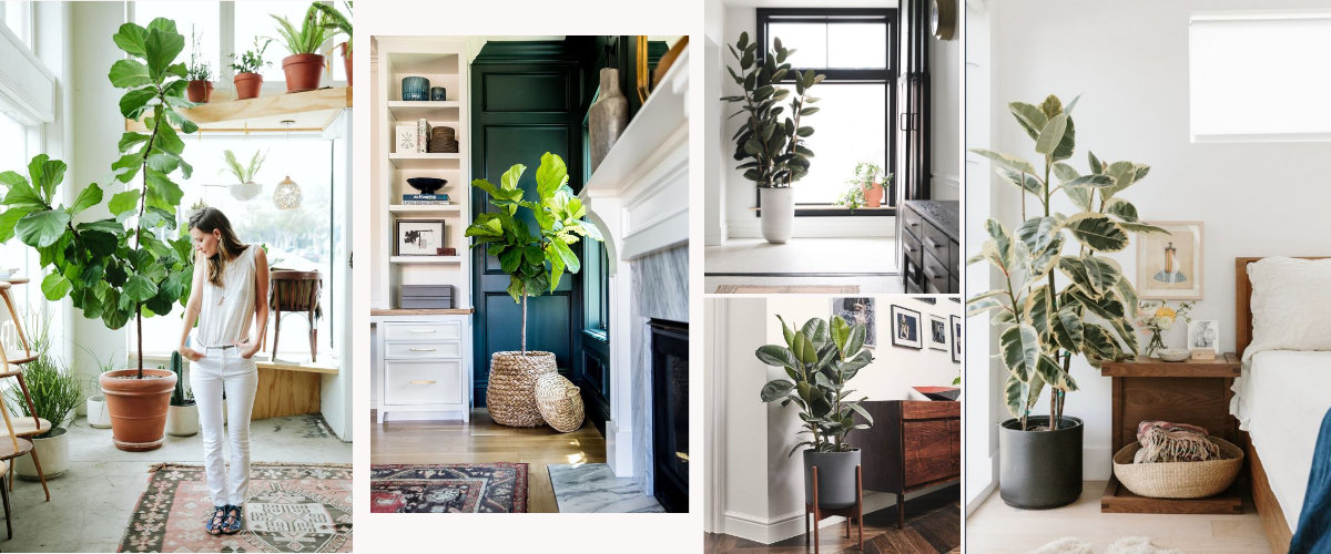 Ficus Lyrata y Ficus Elastica