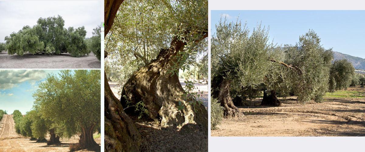 Ruta de los olivos centenarios