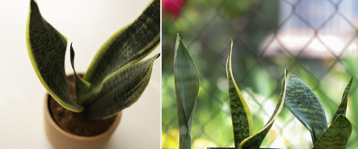 Sansevieria, entre las plantas una de las mas fáciles de cuidar