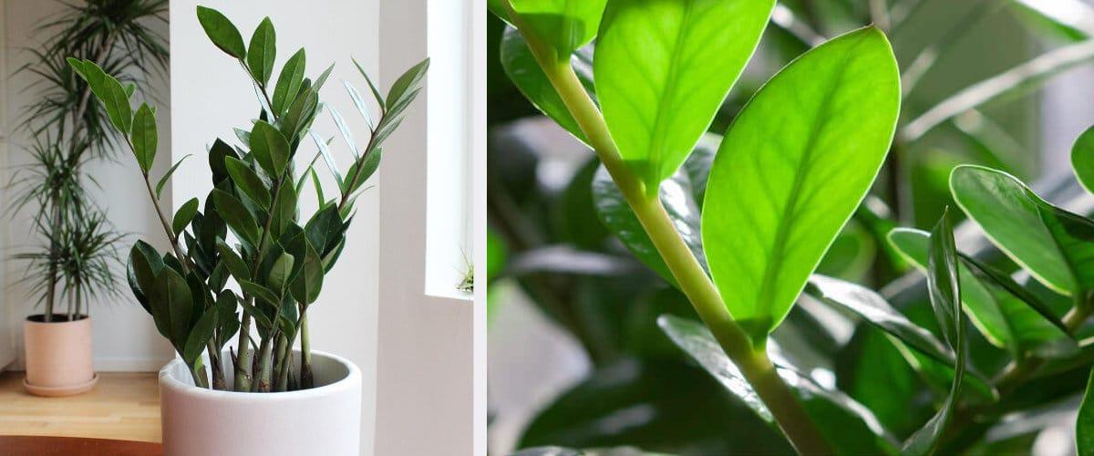 Zamioculca, una de las plantas menos exigentes